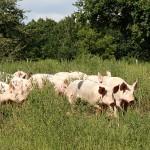 Cochon Nature